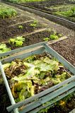 Composting. Cabbage leaves on a compost heap in a vegetable garden stock images