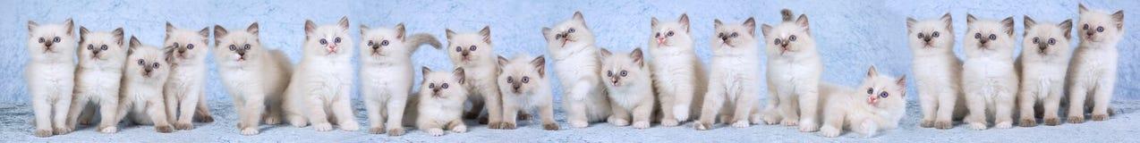 Composto di panorama dei gattini di Ragdoll Fotografia Stock