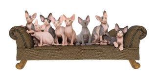 Composto do panorama de gatinhos de Sphynx Imagem de Stock Royalty Free