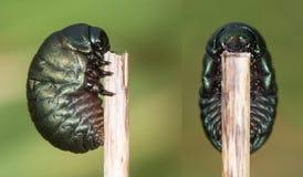 composto Ensanguentado-cheirado da larva do tenebricosa de Timarcha do besouro imagens de stock royalty free