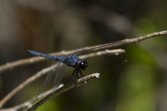 Compound eyes of a Male Slaty Skimmer Dragonfly. A brilliant blue slaty skimmer dragonfly holding onto a dead branch with jointed legs in closeup shows it's Stock Photo