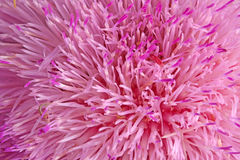 Compound flower of a musk thistle fills the frame Royalty Free Stock Photography