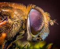 Compound fly eye macro. Compound eye macro, Hover fly Royalty Free Stock Photography