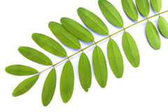 The compound leaf. Compound leaf on white background Stock Images