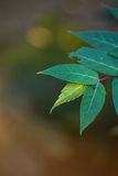 Compound Leaves  4 Royalty Free Stock Images