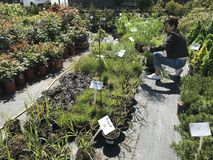 Compra da mulher para plantas e flores novas na jardinagem e no vendedor exterior das plantas imagens de stock