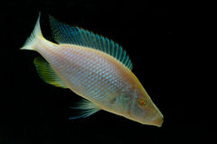 Compressiceps di Dimidiochromis (albino) Fotografie Stock