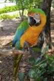 Comprimento cheio do Macaw híbrido imagens de stock