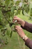 Comprobación del manzano para saber si hay áfidos Fotografía de archivo libre de regalías