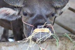 Comprobación inusual del búfalo de agua Imágenes de archivo libres de regalías