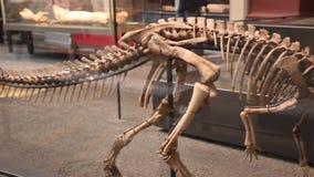 Compsognatus skeleton in museum, handheld video. Compsognatus skeleton  in Berlin natural history museum Museum fur Naturkunde Berlin, Germany, may 2019 stock video