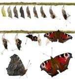 Compuesto de la mariposa del pavo real imagenes de archivo