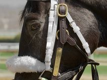 Compulsion going to the paddock. Compulsion, a stunning close-up for this filly wearing a white nylon bridle, halter name plate and a white puffy shadow roll royalty free stock image