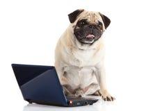 Computador do cão do Pug isolado no fundo branco Imagens de Stock