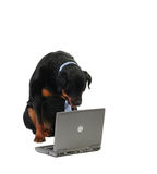 Computer. Dog monitoring the computer, isolated on white Stock Images