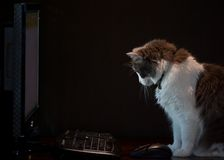 Computer Cat. A cat on black background looking at internet on a computer Royalty Free Stock Images