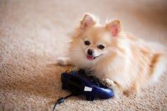 Computer, der Pomeranian spielt stockbild