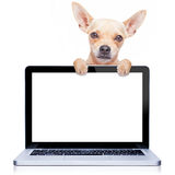 Computer dog. Chihuahua dog behind a laptop pc computer screen, isolated on white background royalty free stock photography