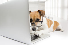 Computer dog. Clever dog with glasses uses computer Stock Image