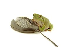 Computer frog. A green frog using a computer mouse Stock Photography