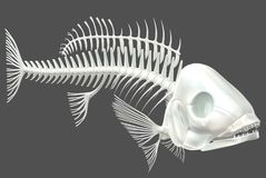 Fish Skeleton 03. This is a computer generated 3d render of a fish skeleton. It is an accurate representation of the skeletal structure of a fish. It has been Royalty Free Stock Photo