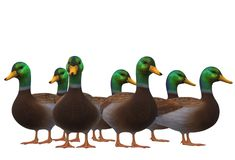A group of male mallard ducks together vector illustration