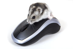 Computer mouse. In the double sense Royalty Free Stock Photos