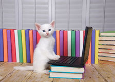 Computer savy white kitten. Fluffy white kitten sitting on a wood table looking at a small portable type computer paw on keyboard, row of colorful books behind Stock Photography