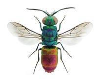 Comta vivo de Chrysis de la avispa del cuco de la joya imagen de archivo libre de regalías