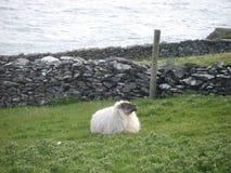 Comtemplación de ovejas en la costa de Irlanda Imagen de archivo libre de regalías
