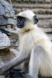 Comtemplación del mono Fotos de archivo libres de regalías
