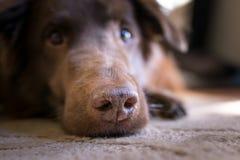 Comtemplación del perro Imagenes de archivo