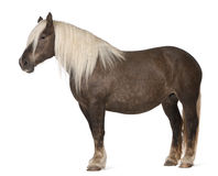 Comtois horse, a draft horse, Equus caballus. 10 years old, standing in front of white background stock images