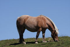 Comtois horse Royalty Free Stock Photography