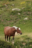Comtois horse Stock Photos