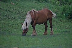 Comtois Horse Grazing in the Field Royalty Free Stock Photo