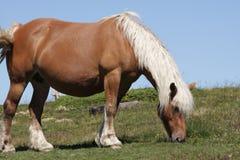 Comtois horse Royalty Free Stock Photo