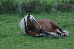 Comtois Horse Resting in a Field in France Royalty Free Stock Photos