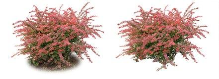 Comum barato da bérberis - um arbusto decorativo fotos de stock