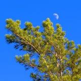 Comum barato do pinho da árvore (sylvestris latinos do pinus) Foto de Stock