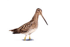 Comum Snipe (o gallinago do Gallinago) Fotografia de Stock Royalty Free