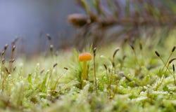 Comune e fungo di Polytrichum Fotografie Stock