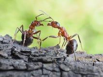 Comunicación de hormigas, diálogo, conexiones Imagen de archivo libre de regalías