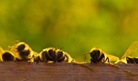 Comunicación de la tarde de abejas jovenes Imágenes de archivo libres de regalías