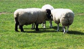 Comunicación de las ovejas con uno a Foto de archivo