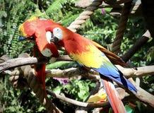 Comunicazione del pappagallo fotografia stock
