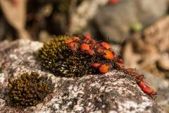 Comunidad de insectos anaranjados sobre musgo Imagen de archivo