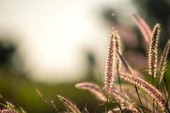 A comunidade da grama da flor com o pedicellatum do Pennisetum do nome do céu azul imagem de stock royalty free