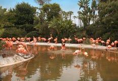 A comunidade dos flamingos por uma lagoa Fotografia de Stock
