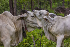 comw de vache et de mère à bébé dans la forêt Photo libre de droits